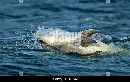 Bottlenose dolphin hunting in Chanonry Point for salmon. - Stock Photo