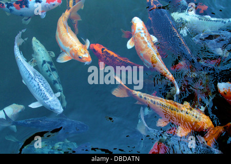 A shoal of Koi Carp looking for food - Stock Photo