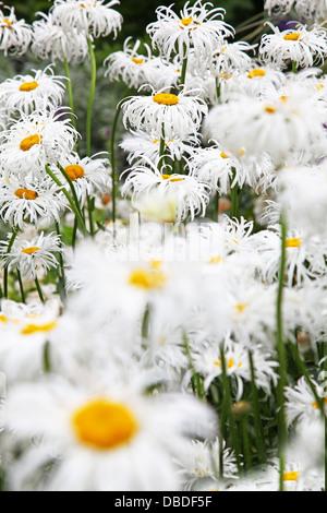 The shaggy frilly petals of a Shasta Daisy Plant Leucanthemum × superbum called 'Crazy Daisy' - Stock Photo