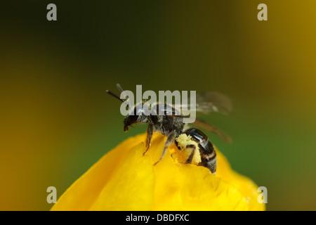 A female sweat bee (Lasioglossum) takes flight - Stock Photo