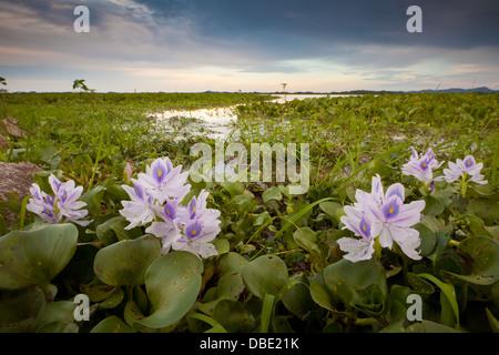 Lily flowers in the wetlands Refugio de vida Silvestre Cienaga las Macanas Nature Reserve, Herrera province, Republic - Stock Photo
