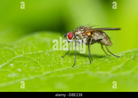 Tachinid fly perched on a green leaf. - Stock Photo