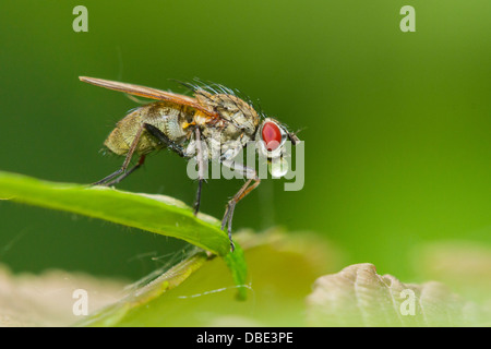 Tachinid fly perched on a green leaf, making bubbles. - Stock Photo