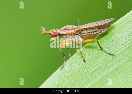 Deer fly perched on a green leaf. - Stock Photo
