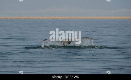 southern right whale walvis bay namibia africa - Stock Photo