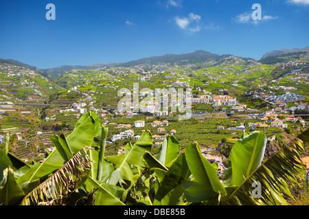 Banana plants cultivation - Camara de Lobos, Madeira Island, Portugal - Stock Photo