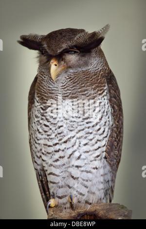 Barred Eagle-Owl (Bubo sumatranus), also called the Malay Eagle Owl, Oriental Eagle Owl, Malaysia - Stock Photo