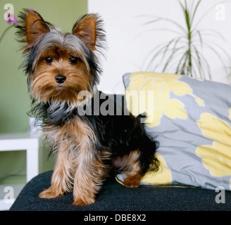 A yorkshire terrier sitting on a chair. - Stock Photo
