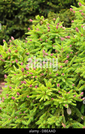 Dwarf common spruce (Picea abies 'Acrocona Push' syn. Picea abies 'Pusch') - Stock Photo