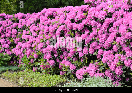 Catawba rhododendron (Rhododendron catawbiense) - Stock Photo