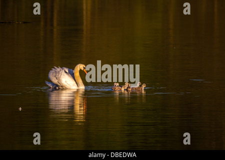 Swan with her cygnets in the early morning light, UK - Stock Photo