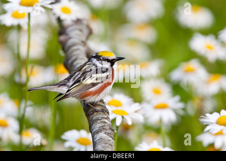 Chestnut-sided Warbler perching near Daisies Stock Photo