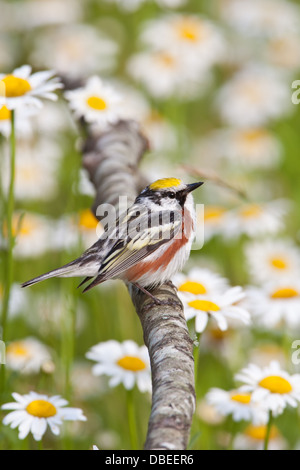 Chestnut-sided Warbler perching near Daisies - vertical Stock Photo