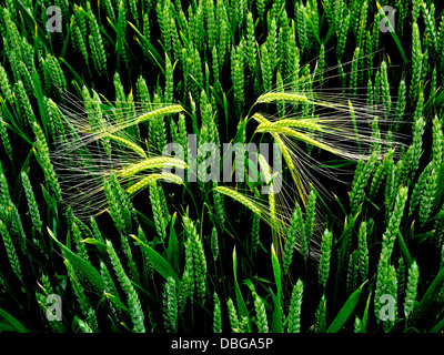 BARLEY GROWING IN A WHEAT FIELD MIXED FARMING - Stock Photo
