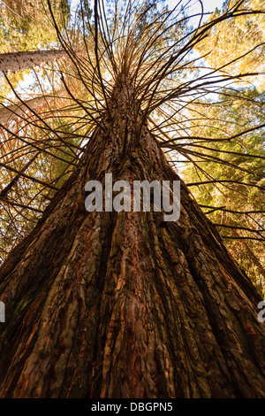 Sequoiadendron giganteum, Giant Sequoia redwood tree trunk reaches up to the blue sky at the top of the forest ceiling - Stock Photo