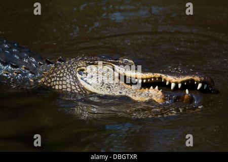AMERICAN ALLIGATOR (Alligator mississippiensis) feeding on fish in small pool, Corkscrew Swamp Audubon Sanctuary, - Stock Photo
