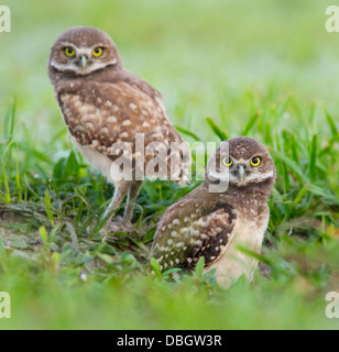 BURROWING OWL (Athene cunicularia) two young outside burrow, Cape Coral, Florida, USA. - Stock Photo