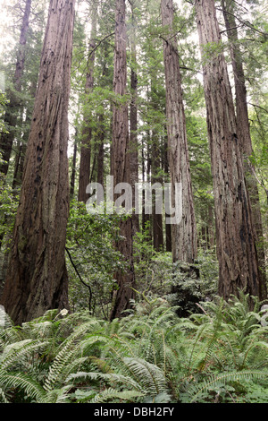 Coast Redwoods, Sequoia sempervirens, Muir Woods, northern CA - Stock Photo