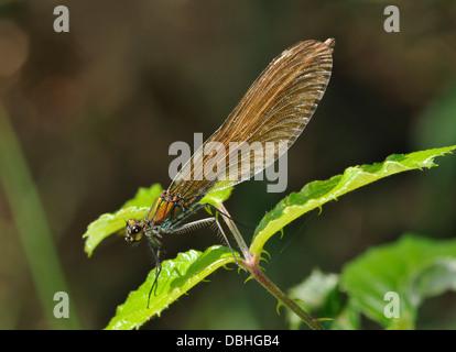 Beautiful Demoiselle - Calopteryx virgo Female resting on brambles - Stock Photo