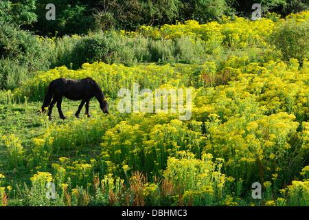 Rothwell, Northamptonshire, UK. 29th July, 2013. Rothwell, Northamptonshire, UK. 29th July 2013. A pony grazes in - Stock Photo
