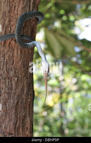 Snake hunting for geckos. - Stock Photo