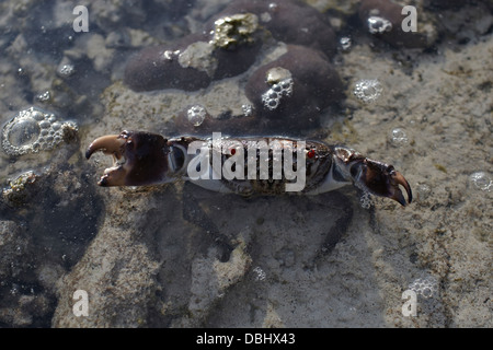 Crab on the coral. - Stock Photo