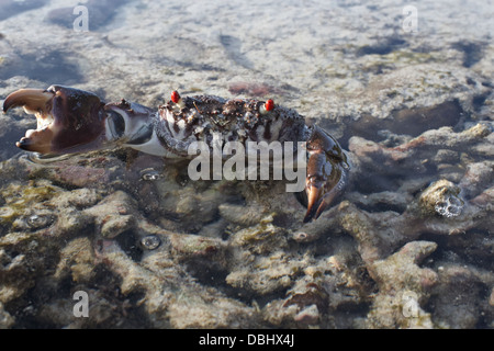 Crab on the coral, - Stock Photo