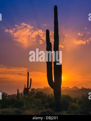 Saguaro Cactus at sunset in Lost Dutchman State Park, Arizona, USA - Stock Photo