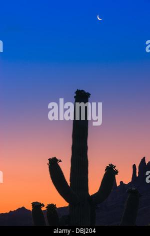Saguaro Cactus at sunrise in Lost Dutchman State Park, Arizona, USA - Stock Photo