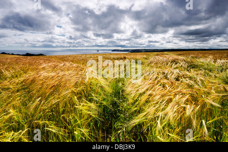 A field of golden ripe barley overlooking the sea in on the south coast of Cornwall - Stock Photo