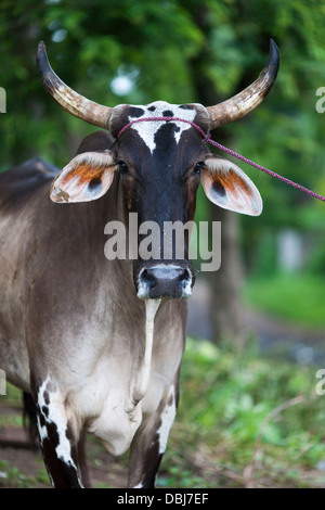 A large Brahmin bull looks alert tied to a tree ready for bull riding in the fiesta of Moyogalpa on the island ometepe - Stock Photo
