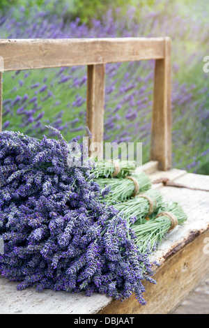 Pile of lavender flower bouquets on a wooden old bench in a summer garden - Stock Photo