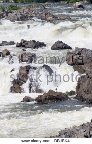 A blue heron waits hopefully at Great Falls on the Potomac. - Stock Photo