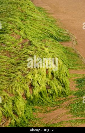 Thick Bright Green Algae sea weed grown in Kovalam Beach Rocks India - Stock Photo