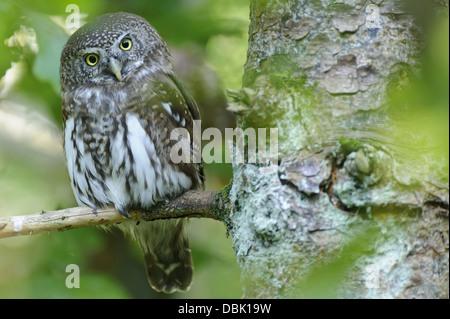 Eurasian Pygmy Owl, Glaucidium passerinum, Bavarian Forest, Bavaria, Germany, Europe - Stock Photo