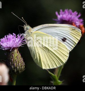 Small Cabbage White (Pieris Rapae) - Stock Photo