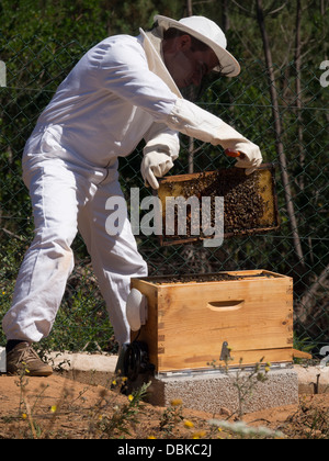 Beekeeper in protective suit removing brood frame from bee hive to collect honey - Stock Photo