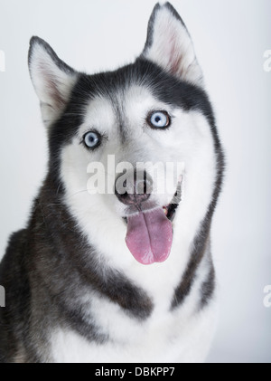 Siberian Husky with blue eyes on white / snow background - Stock Photo