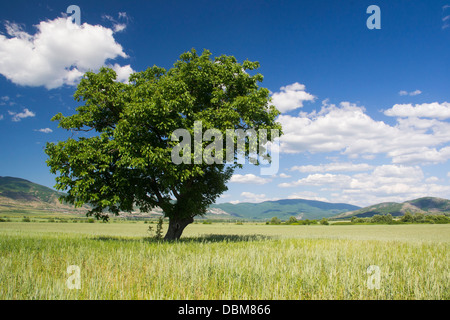 Old green tree in the middle of a field of grains in spring - Stock Photo