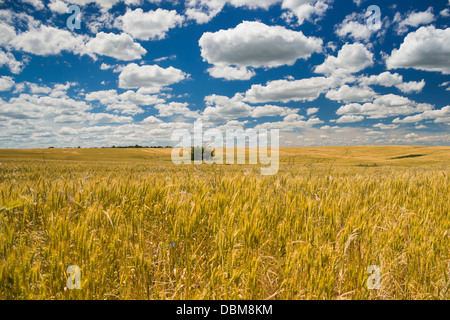 Golden colored field of wheat under blue sky and white clouds on a sunny summer day - Stock Photo