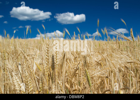 Closeup of ripe wheat-ear under blue sky with white clouds on a clear sunny summer day - Stock Photo