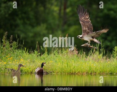 Osprey Pandion haliaetus with large rainbow trout in Talons as a pair of Mallards show their disapproval, Spey Valley, - Stock Photo