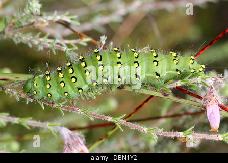 Detailed close-ups of the exotic looking Small Emperor Moth Caterpillar (Saturnia pavonia) - 22 images in series - Stock Photo