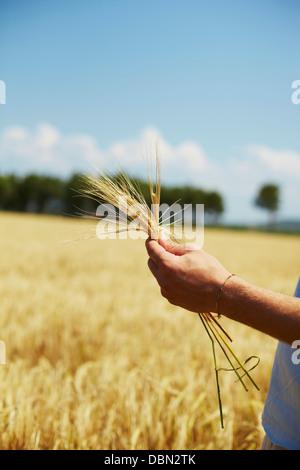 Farmer Holding Wheat Stalks In Hands, Croatia, Dalmatia, Europe - Stock Photo