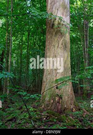 Dead huge oak tree bark-less in morning against juvenile deciduous stand of Bialowieza Forest - Stock Photo