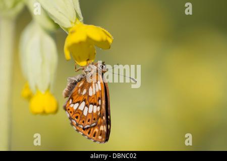Duke of Burgundy Fritillary Butterfly; Hamearis lucina; on Cowslip; UK - Stock Photo