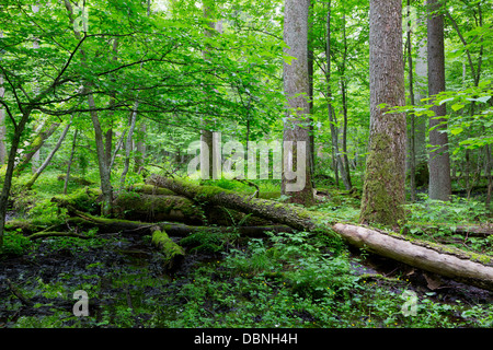 Old moss wrapped ash tree lying and old natural deciduous stand of Bialowieza Forest in summer - Stock Photo
