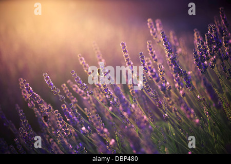 Lavender Field, Island Hvar, Croatia, Europe - Stock Photo