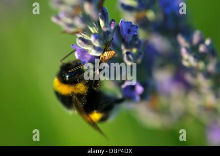 Bumblebee in Lavender Field, Island Hvar, Croatia, Europe - Stock Photo