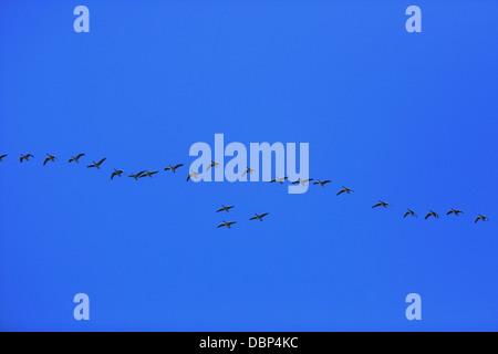 Flock Of Birds Against Blue Sky - Stock Photo